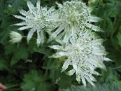 Garden Flowers Masterwort, Astrantia photo white