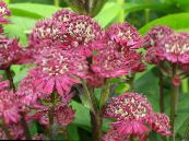 Garden Flowers Masterwort, Astrantia photo burgundy