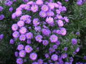 Garden Flowers Aster photo lilac