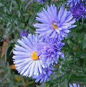 Garden Flowers Aster photo light blue