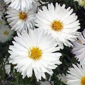 Garden Flowers Aster photo white