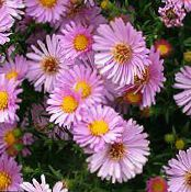 Garden Flowers Aster photo pink