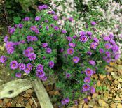 New England aster lilac