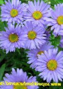 Alpine Aster light blue