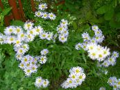 Garden Flowers Alpine Aster, Aster alpinus photo white