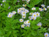Garden Flowers Alpine Aster, Aster alpinus photo lilac