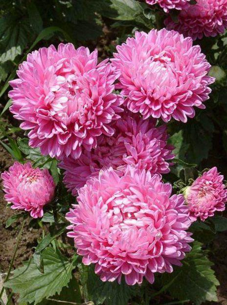 I fiori da giardino china aster callistephus chinensis - Aster pianta ...