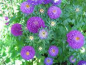 Garden Flowers China Aster, Callistephus chinensis photo purple