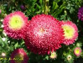 Garden Flowers China Aster, Callistephus chinensis photo red