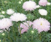 Garden Flowers China Aster, Callistephus chinensis photo pink
