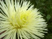 Garden Flowers China Aster, Callistephus chinensis photo yellow