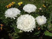 Garden Flowers China Aster, Callistephus chinensis photo white