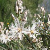 Garden Flowers White Asphodel, Asphodelus photo white