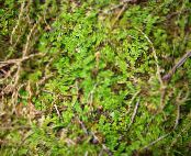 Spring meadow spikemoss, Swiss clubmoss green Ferns