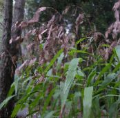 Spangle grass, Wild oats, Northern Sea Oats brown Cereals