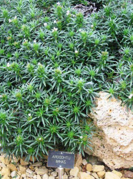 Le piante da giardino lithodora zahnii ornamentali a for Piante da giardino ornamentali