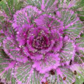 Flowering Cabbage, Ornamental Kale, Collard, Cole purple