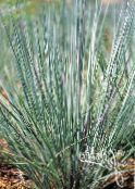 Garden Plants Big Bluestem, Turkeyfoot cereals, Andropogon photo light blue