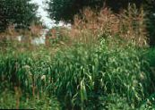 Garden Plants Big Bluestem, Turkeyfoot cereals, Andropogon photo green