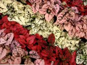Polka dot plant, Freckle Face red Leafy Ornamentals