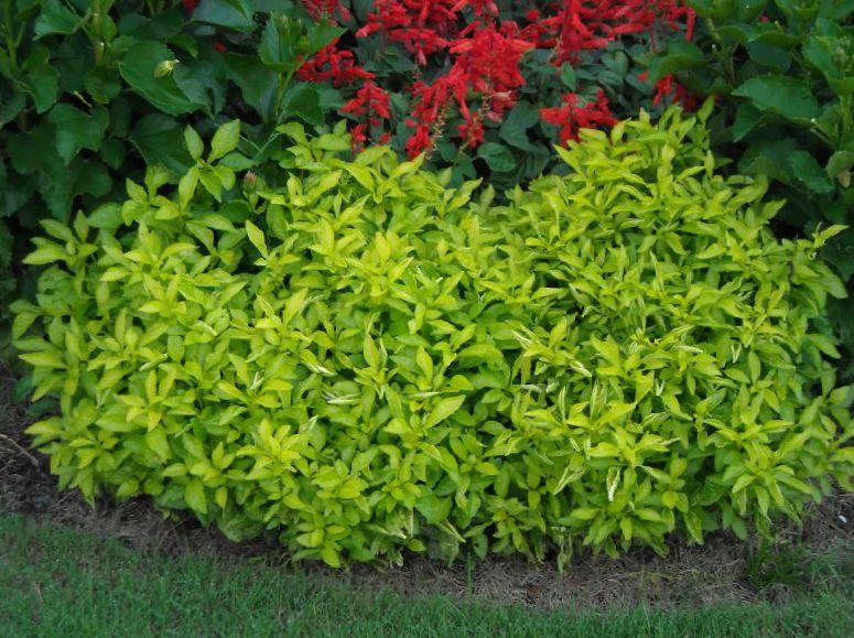 le piante da giardino alternanthera ornamentali a foglia
