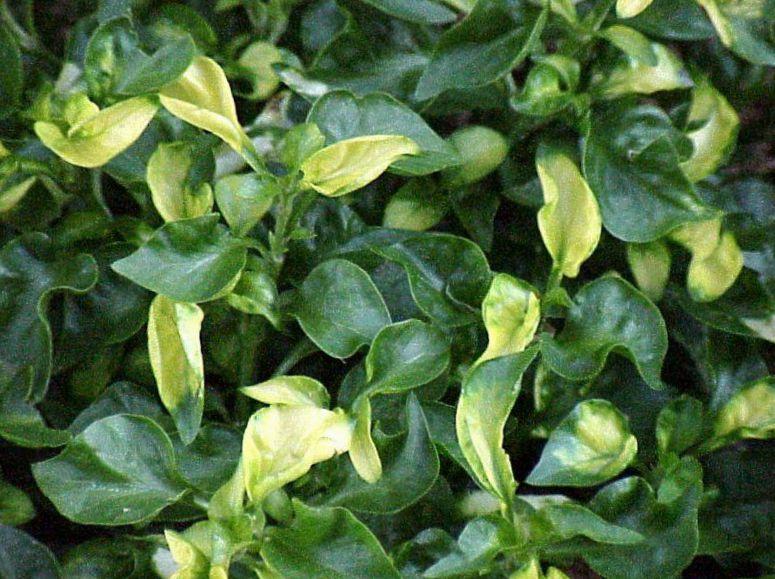 Le piante da giardino alternanthera ornamentali a foglia foto bianco - Piante ornamentali da giardino ...
