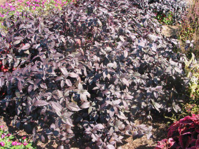Le piante da giardino alternanthera ornamentali a foglia foto vinoso - Piante ornamentali da giardino ...