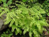 Northern Maidenhair Fern, Five-finger fern, Five-fingered Maidenhair, American Maidenhair light green