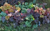 Heuchera, Coral flower, Coral Bells, Alumroot multicolor Leafy Ornamentals