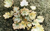 Heuchera, Coral flower, Coral Bells, Alumroot yellow Leafy Ornamentals