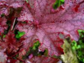 Heuchera, Coral flower, Coral Bells, Alumroot red Leafy Ornamentals