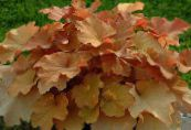Heuchera, Coral flower, Coral Bells, Alumroot brown Leafy Ornamentals