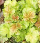 Heuchera, Coral flower, Coral Bells, Alumroot light green Leafy Ornamentals
