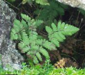 Garden Plants Limestone Oak Fern, Scented Oak Fern, Gymnocarpium photo green