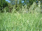 Scented holy grass, Sweetgrass, Seneca Grass, Vanilla Grass, Buffalo Grass, Zebrovka light green Cereals