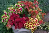 Coleus, Flame Nettle, Painted Nettle multicolor Leafy Ornamentals
