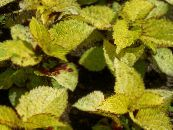 Coleus, Flame Nettle, Painted Nettle yellow Leafy Ornamentals