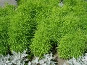 Kochia, Burning Bush, Summer Cypress, Mexican Fireweed, Belvedere light green Leafy Ornamentals