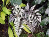 Lady fern, Japanese painted fern silvery