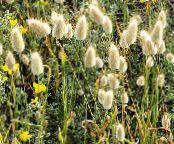 Hare's Tail Grass, Bunny Tails light green Cereals