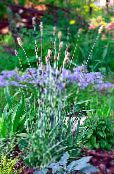 Garden Plants Foxtail grass cereals, Alopecurus photo light blue