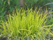 Garden Plants Foxtail grass cereals, Alopecurus photo yellow