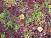 Garden Plants Houseleek succulents, Sempervivum photo burgundy,claret