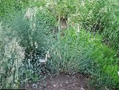 Garden Plants Blue Oat Grass cereals, Helictotrichon sempervirens photo light blue