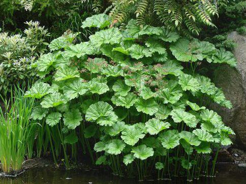 des plantes de jardin plante parapluie la rhubarbe indienne peltiphyllum darmera photo vert. Black Bedroom Furniture Sets. Home Design Ideas