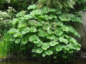 Umbrella Plant, Indian Rhubarb green Leafy Ornamentals