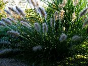 Chinese fountain grass, Pennisetum green Cereals
