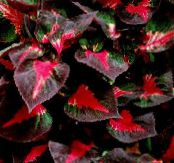 Beef steak Plant multicolor Leafy Ornamentals