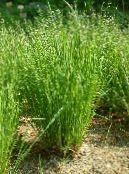 Mountain Melic Grass green Cereals
