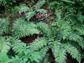 Plagiogyria green Ferns